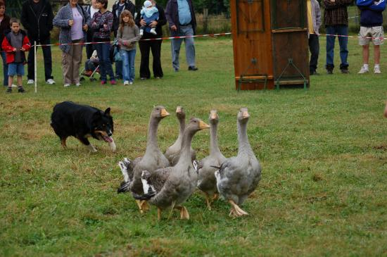 Le troupeau d'oies